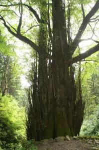 大木のようにブレない
