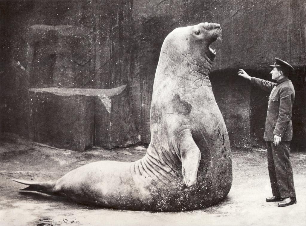 マインドリセットされる巨大アザラシ